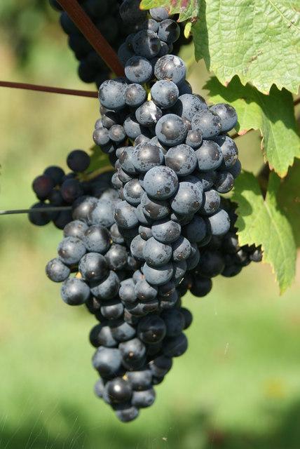 Grapes at Denbies Vineyard, Dorking, Surrey