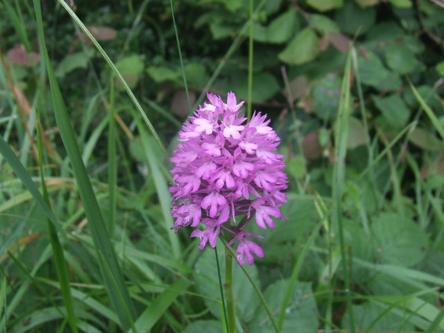 Wild Orchid near Pinswell
