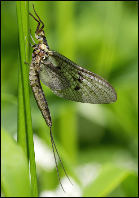 Mayfly resting on the river bank at Thornborough Bridge.