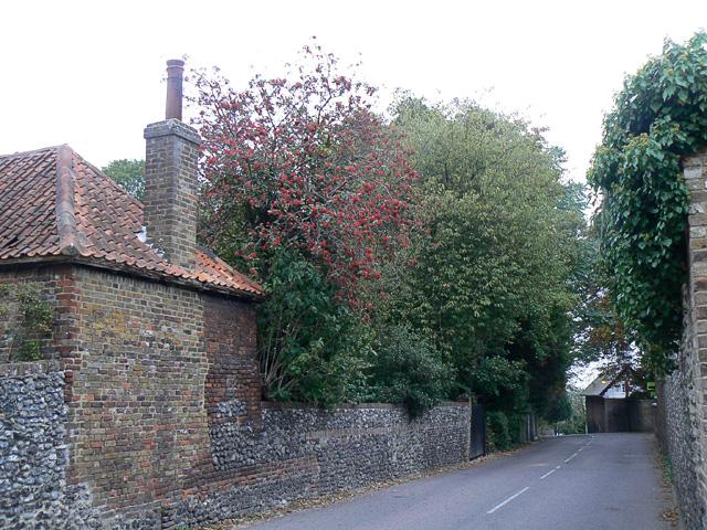 Swedish Whitebeam, Kingsdown Kent