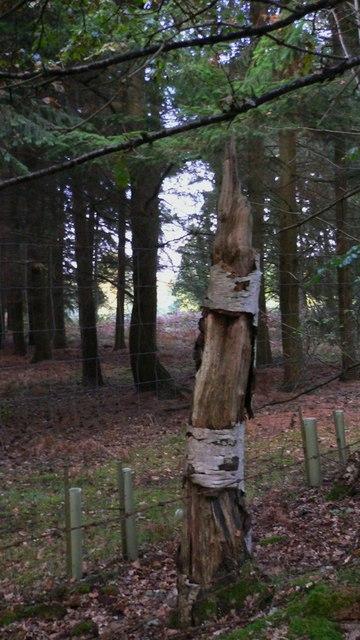 Ragged old tree stump by Warren Road