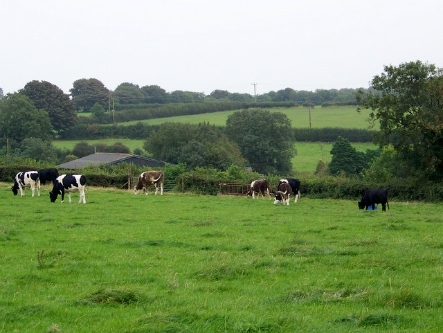 Cattle near Croscombe
