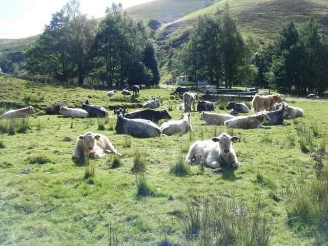 Cattle by Mennock Water