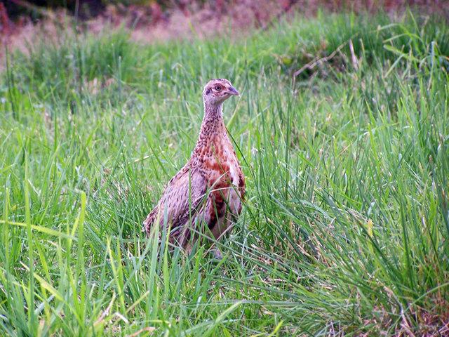 Young pheasant at Spittal of Glenshee