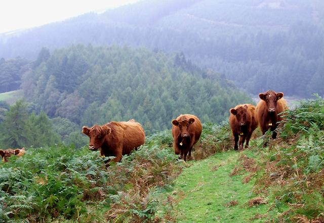 Cattle near Nant-y-Brain, Powys