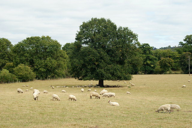 Sheep in Norbury Park, Surrey