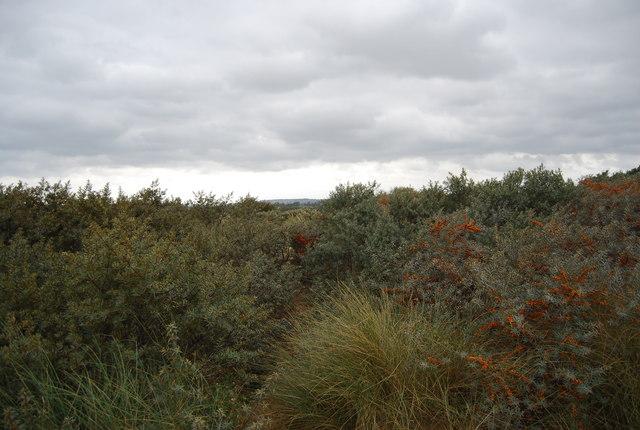 Dense vegetation , sand dunes, Camber