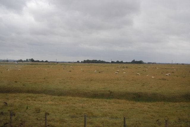 Sheep grazing by Camber Rd