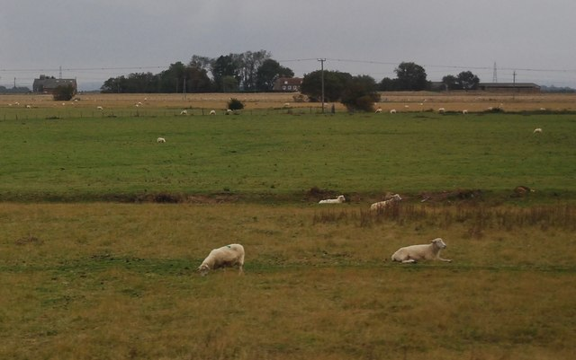 Sheep near Camber Rd
