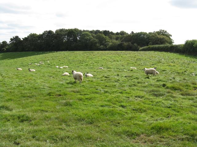 Shrawley Sheep