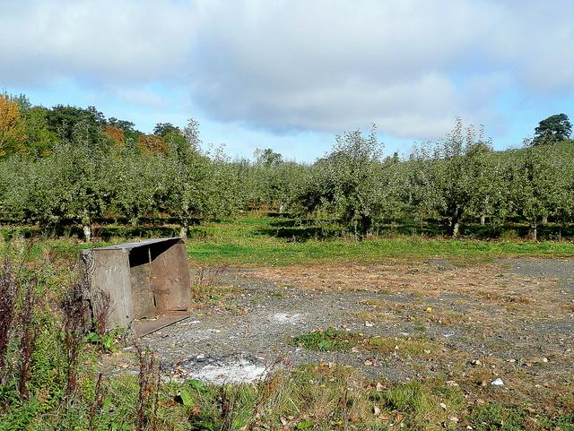 Apple orchard on Aston Hill