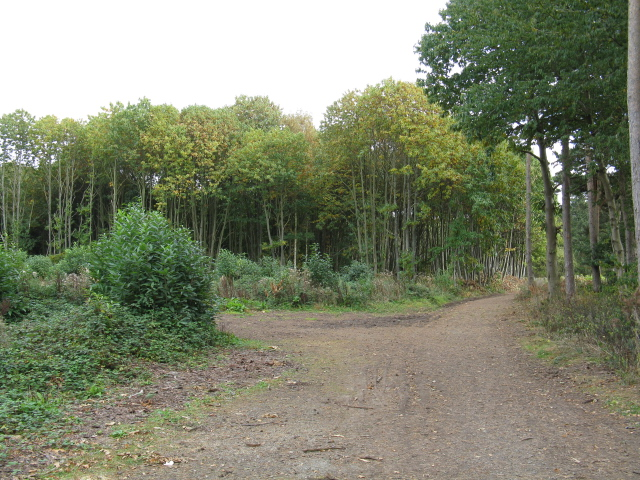Stand Of Trees, Shrawley Wood