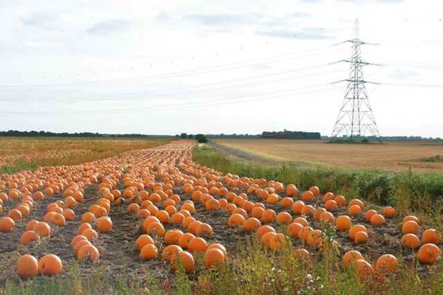 Pumpkins at Upwell Fen