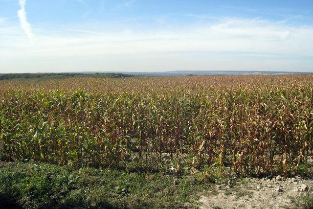 Sweetcorn Field near Harpole