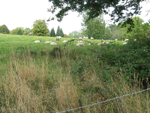 Relaxed sheep on Furzefield Farm