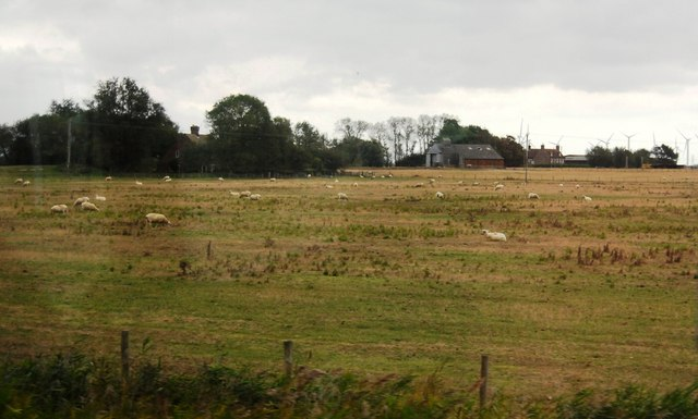 Sheep grazing near Camber Rd