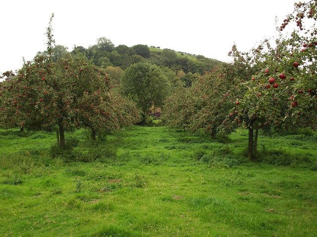 Orchard, Chiselborough