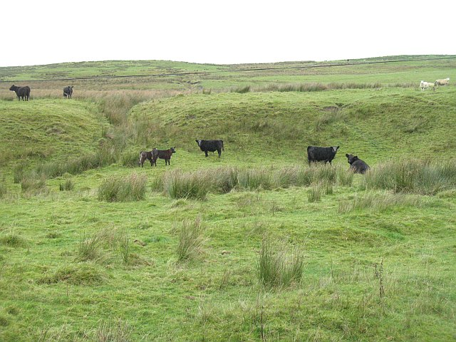 Cattle, Raeburnfoot