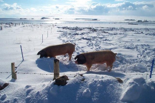 Pigs in the snow, Baltasound