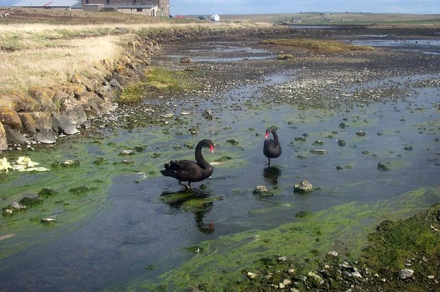 Black Swans (Cygnus atratus), the Houb, Baltasound