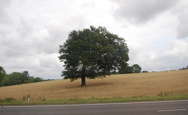 Single tree by the A21, Lamberhurst Bypass