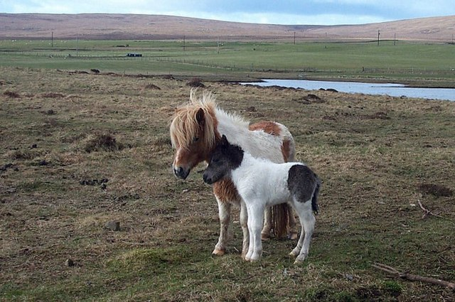 Newborn Shetland pony foal, Baltasound
