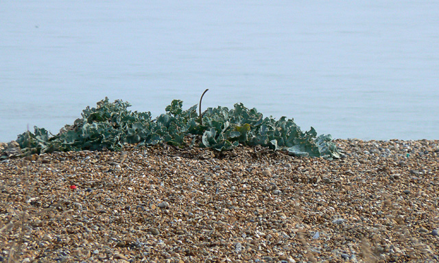 Seakale on shingle beach, Deal