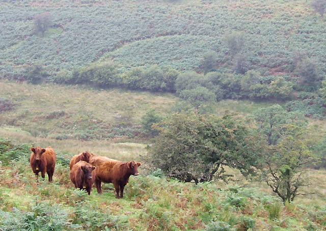 Cattle grazing in Nant-y-Brain, Powys