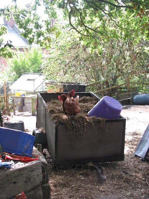 Hens foraging in garden