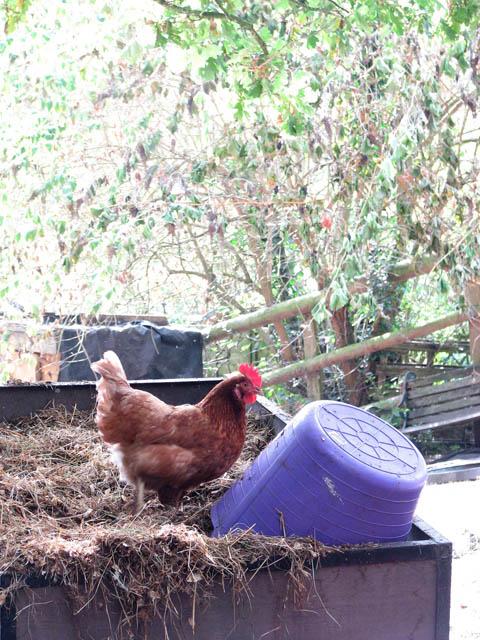 Foraging chicken