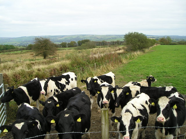 Friesian heifers