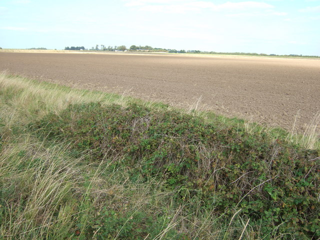 Blackberries in a dyke, north of Terrington St Clement