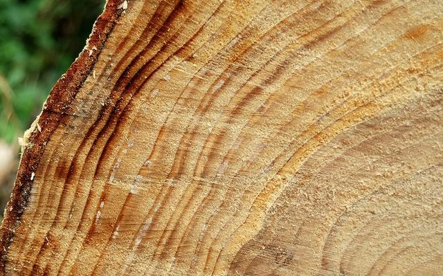 Tree rings, Hillsborough forest