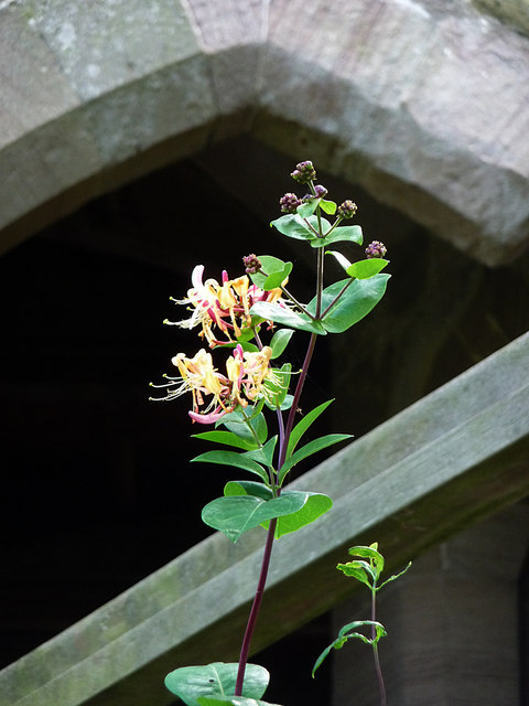 Honeysuckle at Stokesay Castle