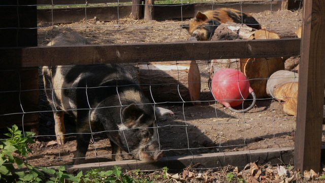 Pigs in enclosure at Yew Tree Inn