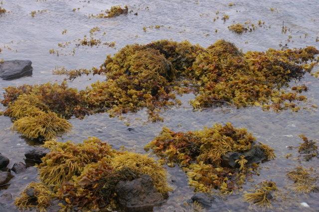 Autumnal seaweeds on the shore of Baltasound voe