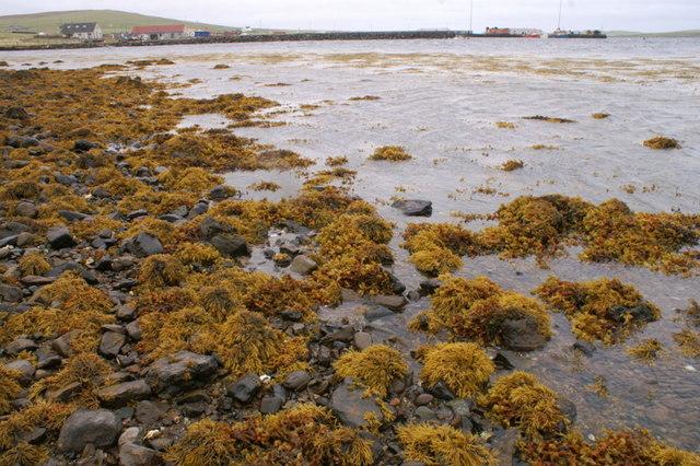Autumnal shore of Baltasound voe