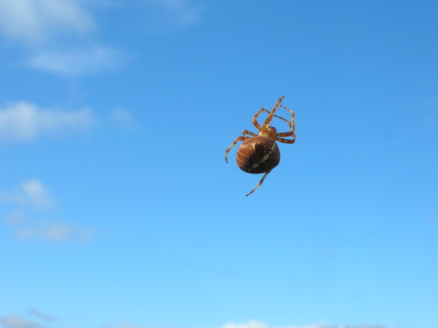Common Garden Spider seen between Uig and Auchnagaul