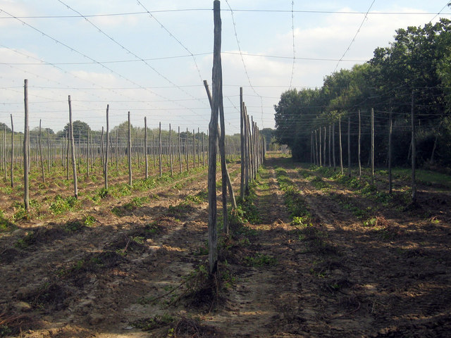 Hop Garden, Hoad's Farm - After Harvest