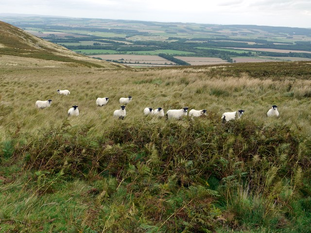 Sheep below Yeavering Bell
