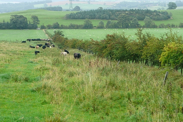 Cattle north of Fawdon