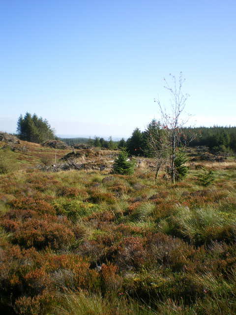 Partially felled forest on Hen Gerrig