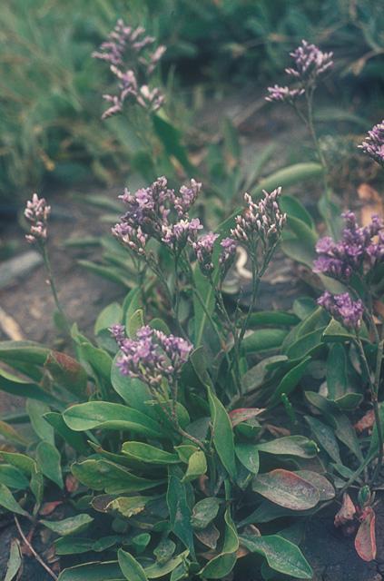 Sea lavender on Two-Tree Island