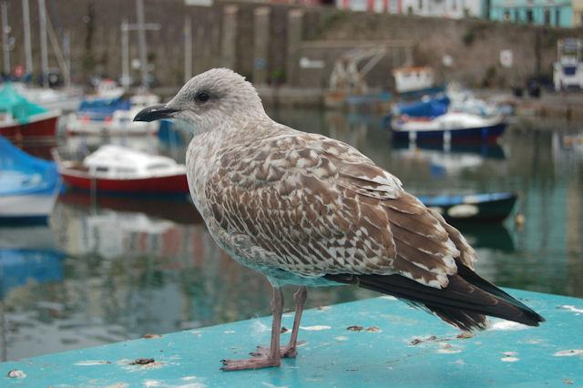 Immature Gull at Brixham