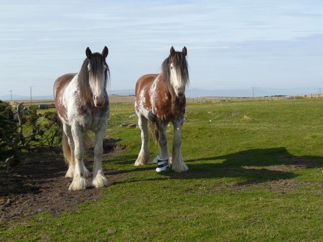 Heavy horses, Bindal Muir.