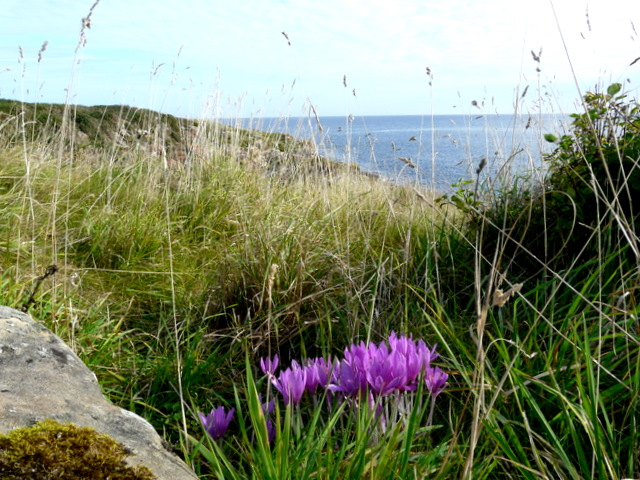 Colchicums on the clifftop nearTarbatness lighthouse.