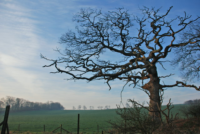 Old tree on winter evening