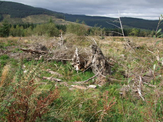 Tree stumps in Gwydir Forest Penmachno