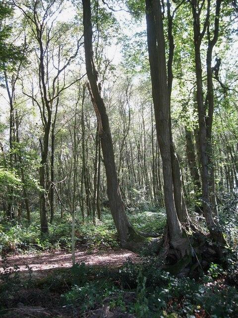 Bachelors Wood