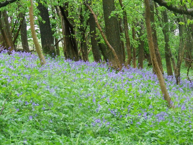 Bluebells on road to Coombe End